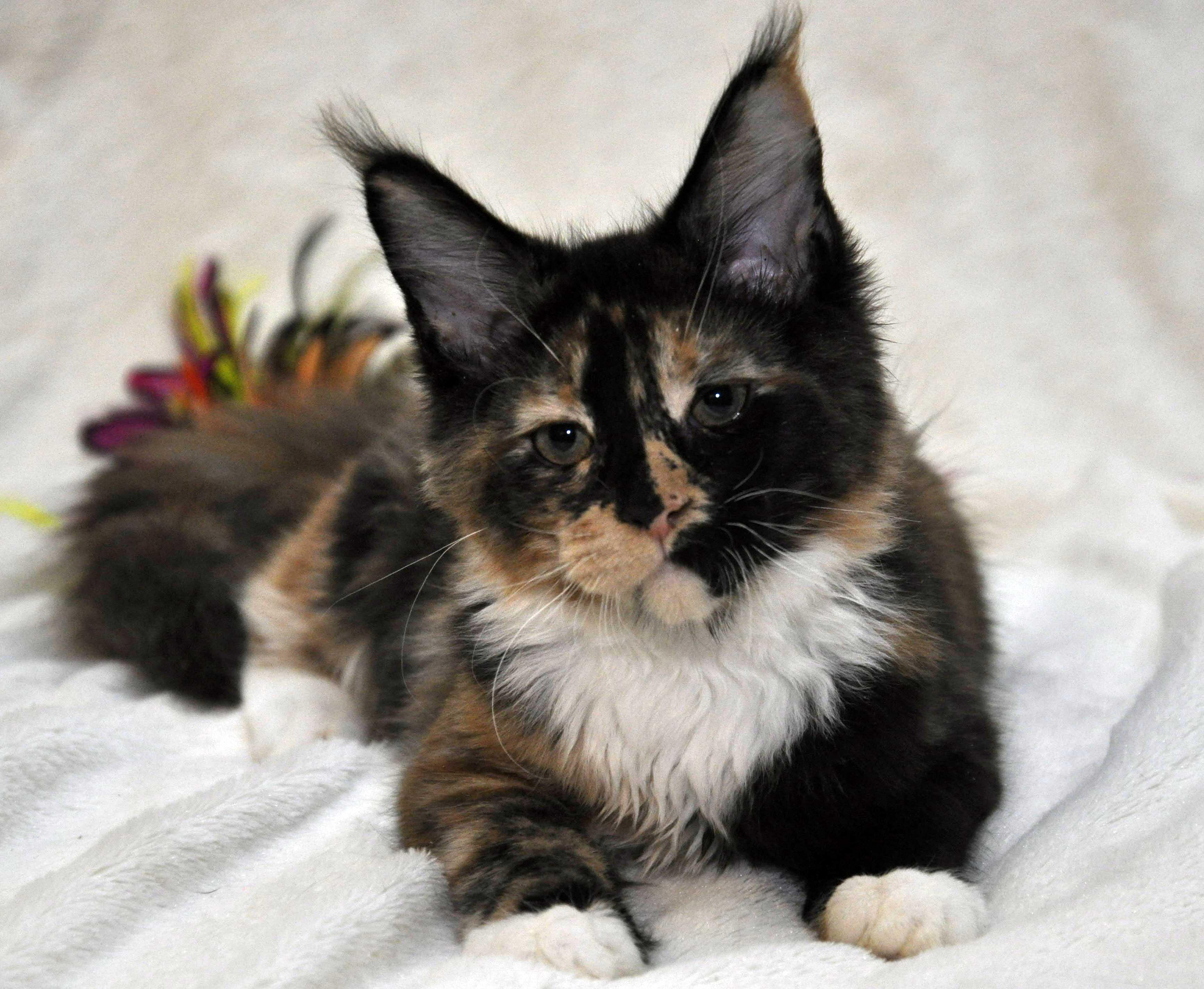 Кошка  2 Мейн Кун female maine coon Eyktan Rio RUMBA 280318 фото 1