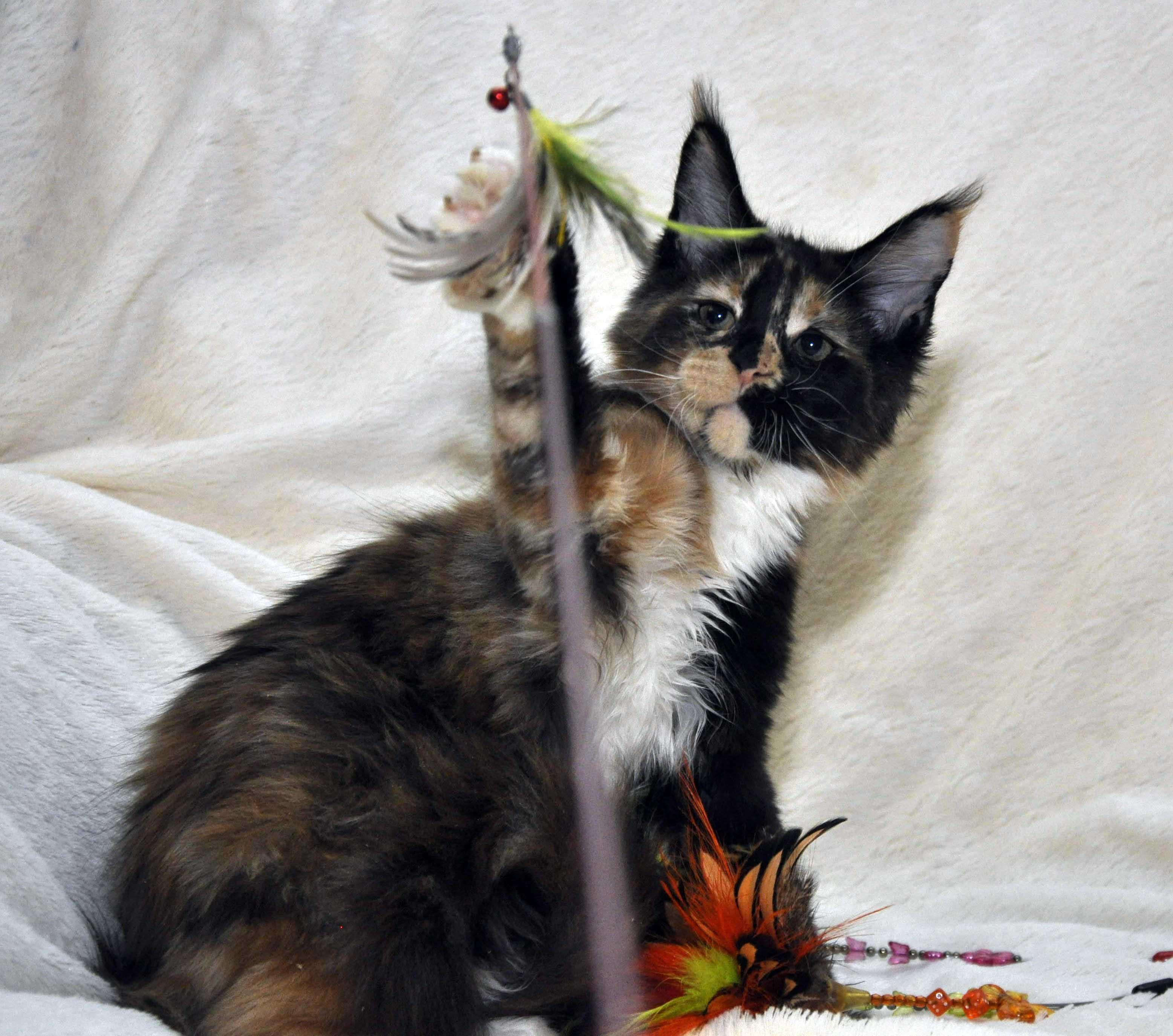 Кошка  2 Мейн Кун female maine coon Eyktan Rio RUMBA 280318 фото 4