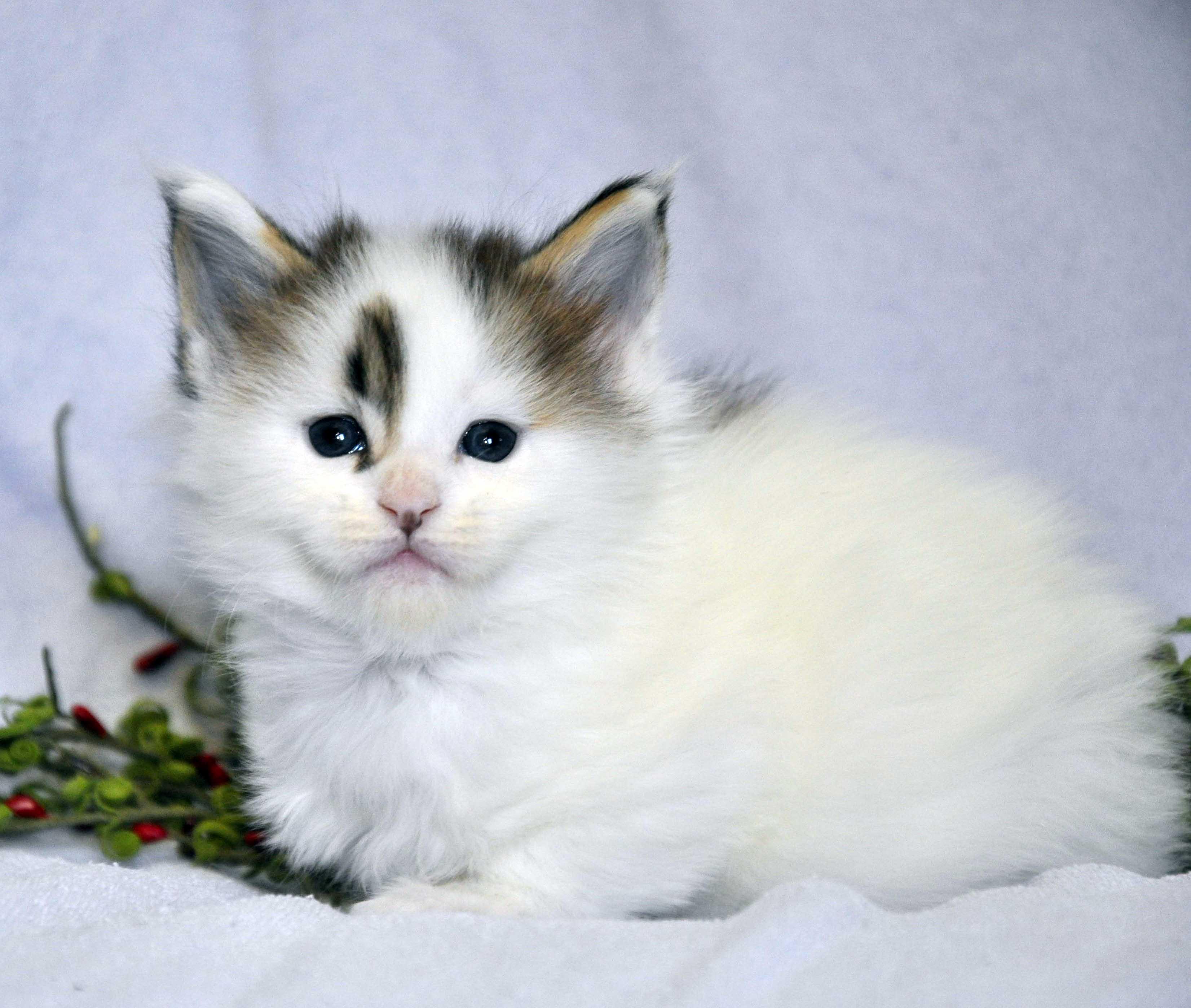 Кот Мейн Кун 1 (male) Eyktan TYSON 110418 фото 1