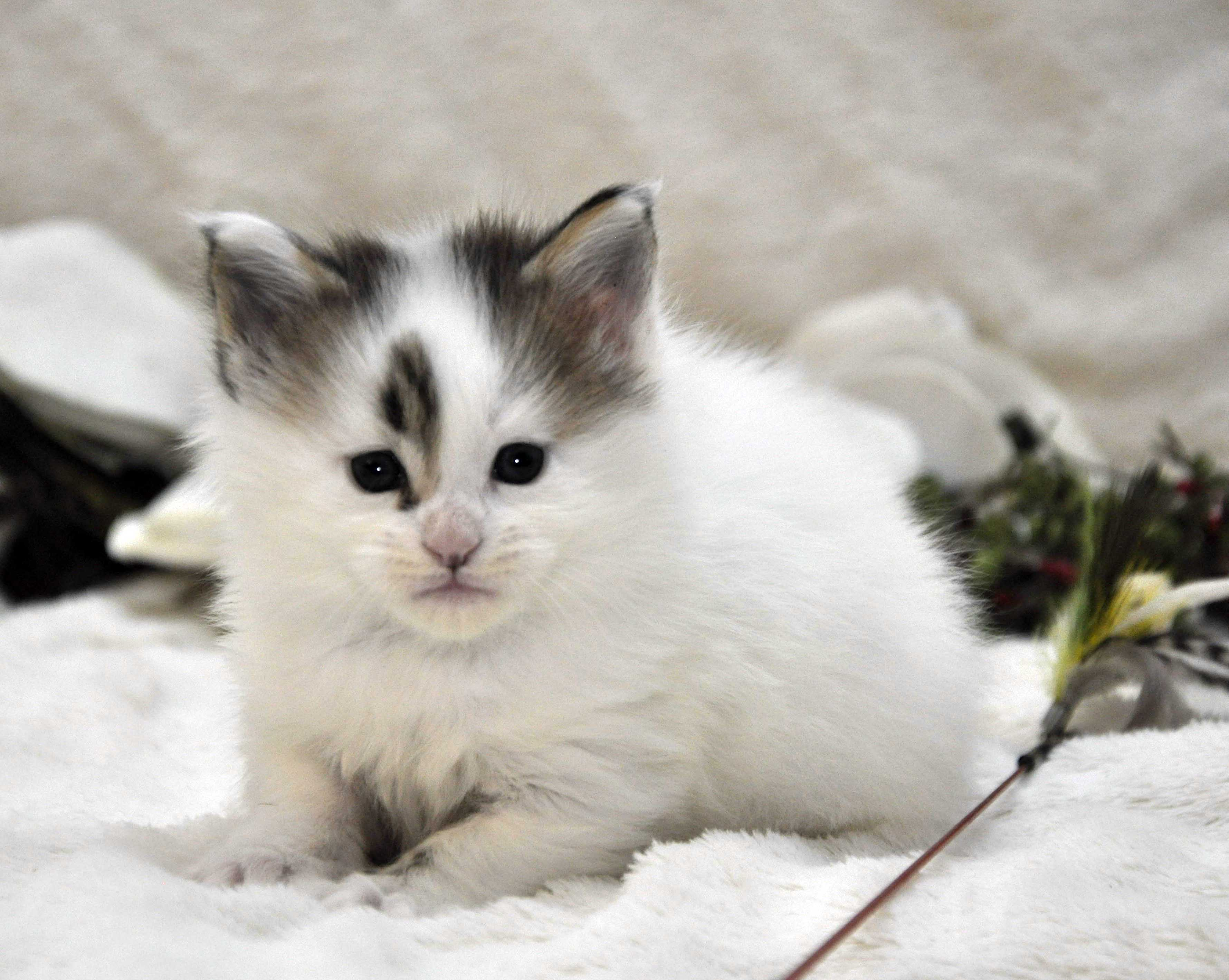 Кот Мейн Кун 1 (male) Eyktan TYSON 110418 фото 11