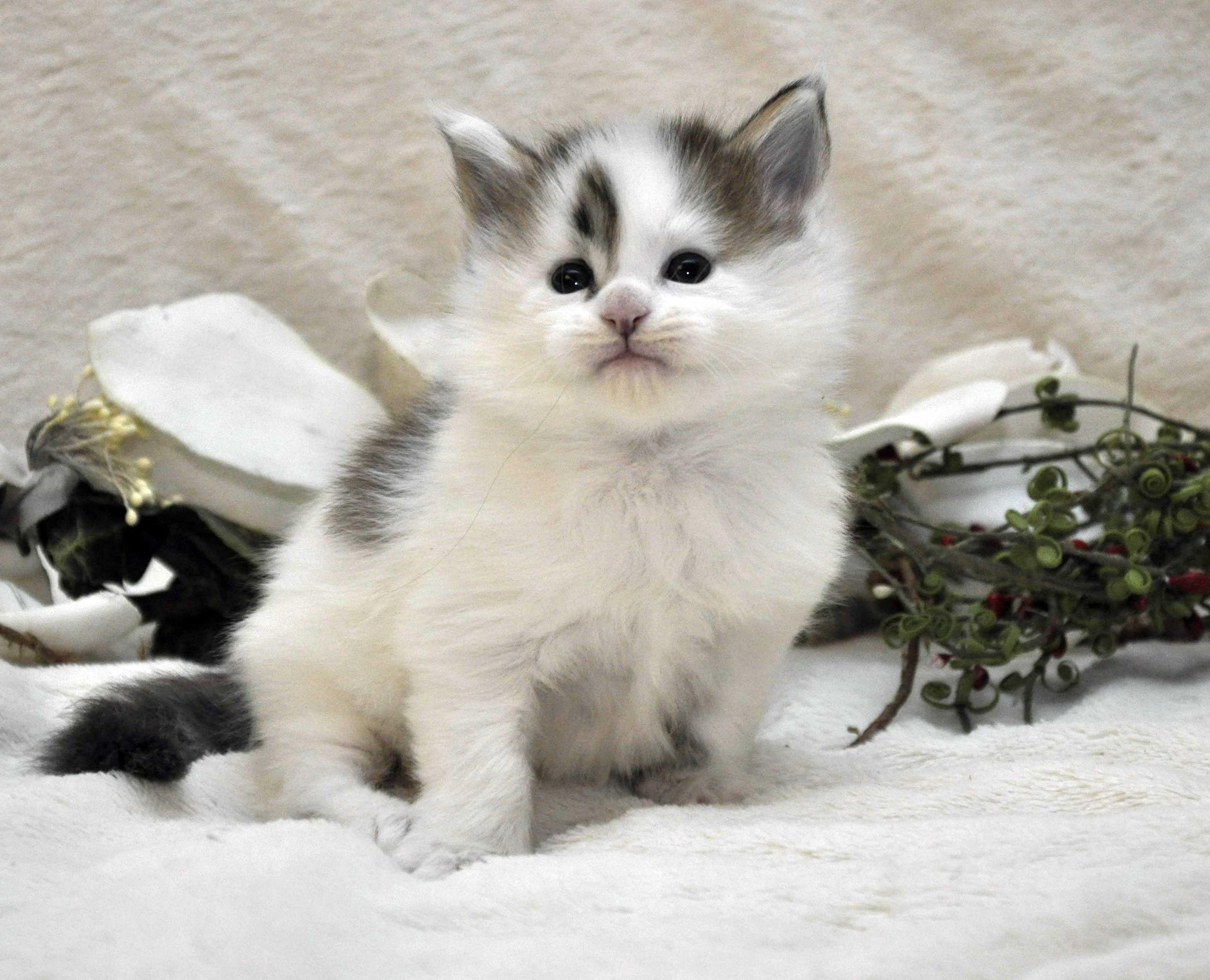 Кот Мейн Кун 1 (male) Eyktan TYSON 110418 фото 2