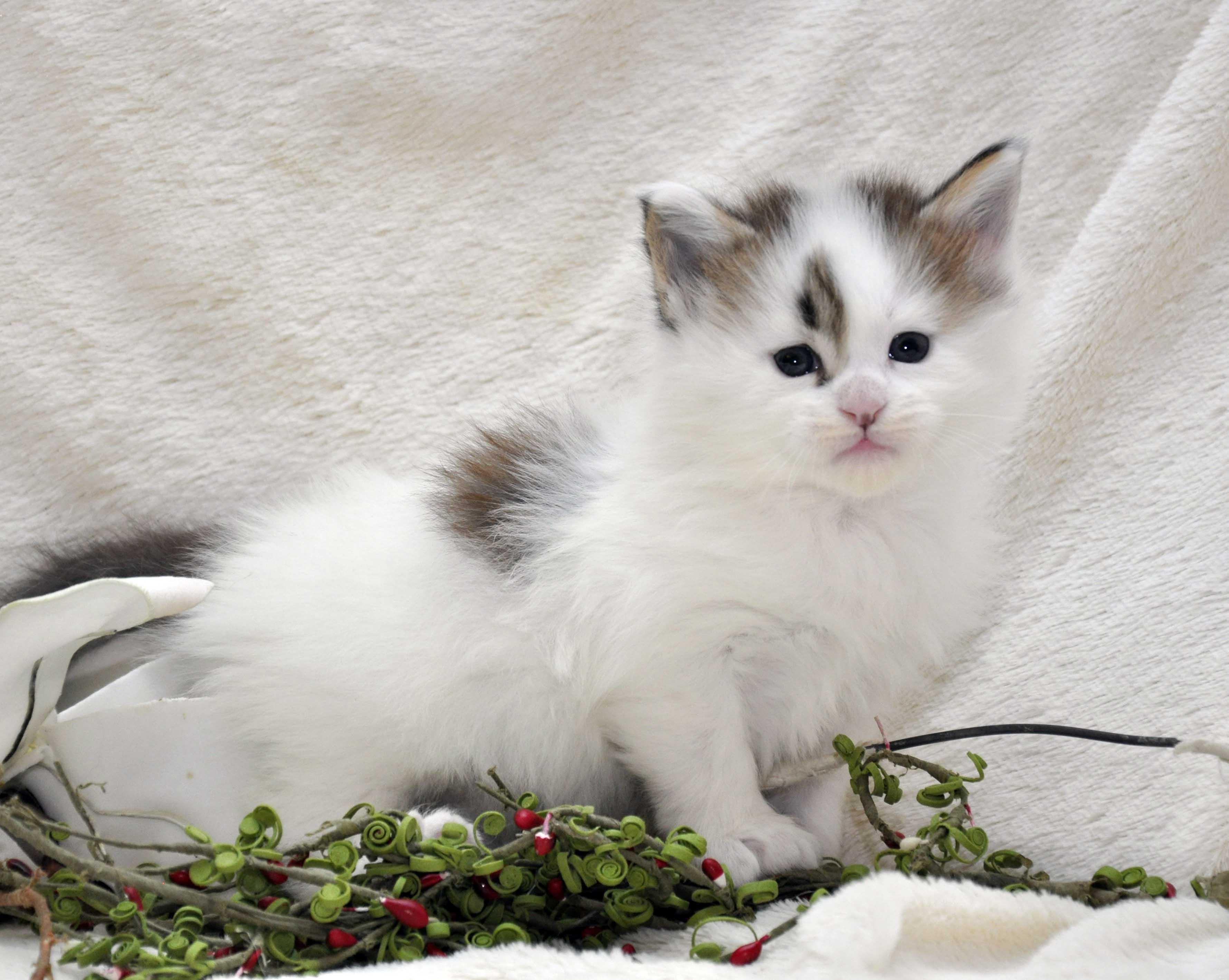 Кот Мейн Кун 1 (male) Eyktan TYSON 110418 фото 3