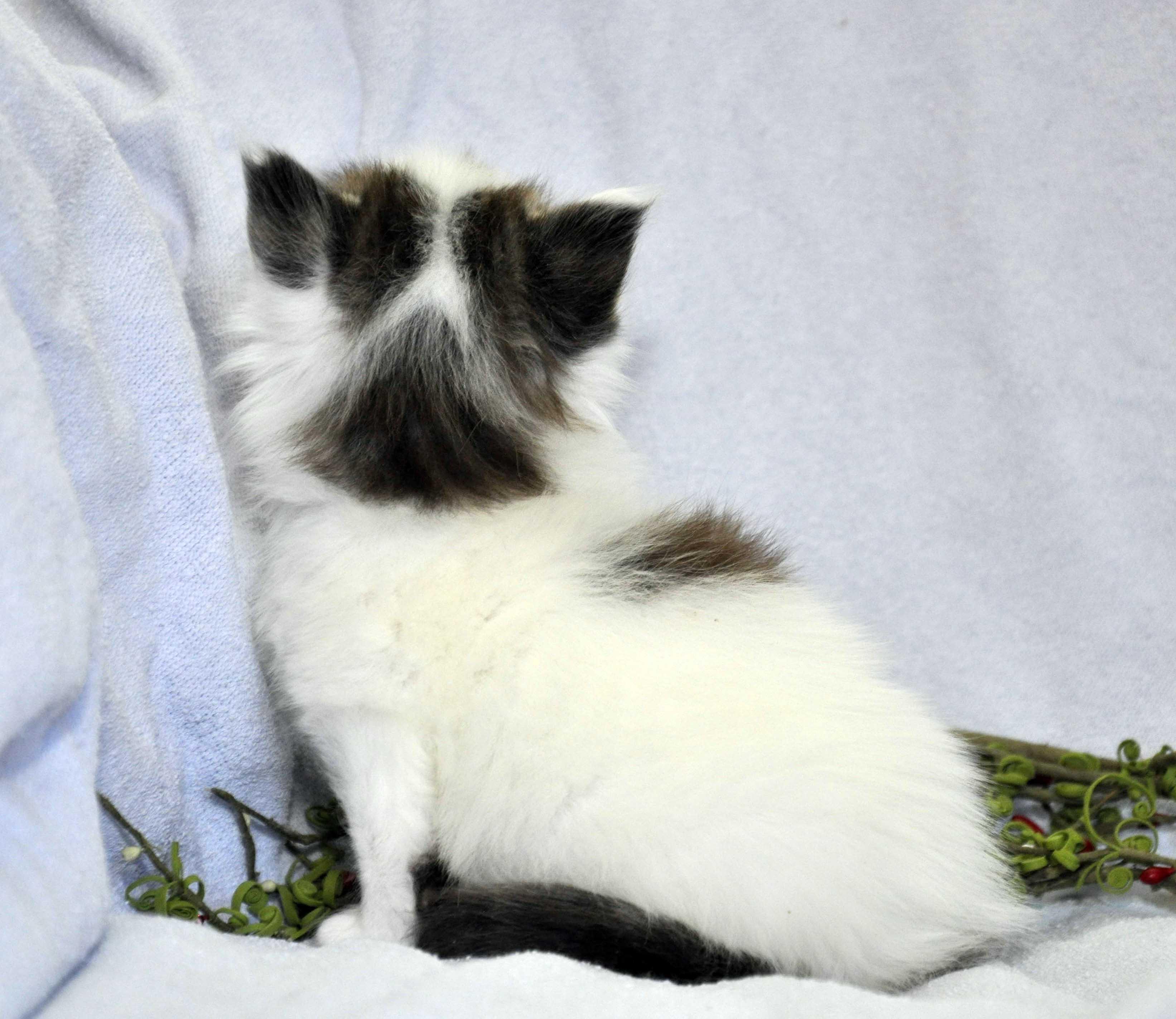 Кот Мейн Кун 1 (male) Eyktan TYSON 110418 фото 4