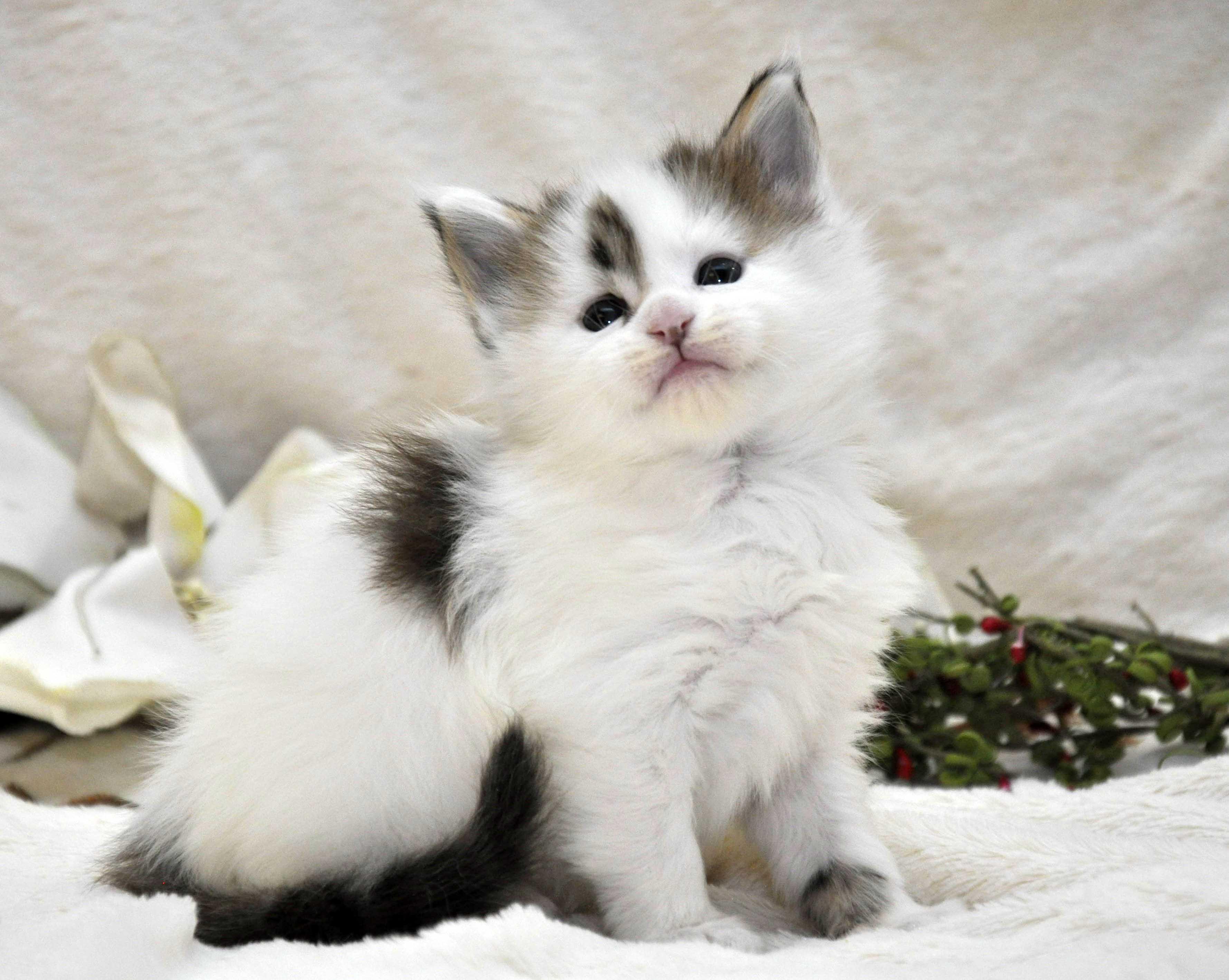 Кот Мейн Кун 1 (male) Eyktan TYSON 110418 фото 5