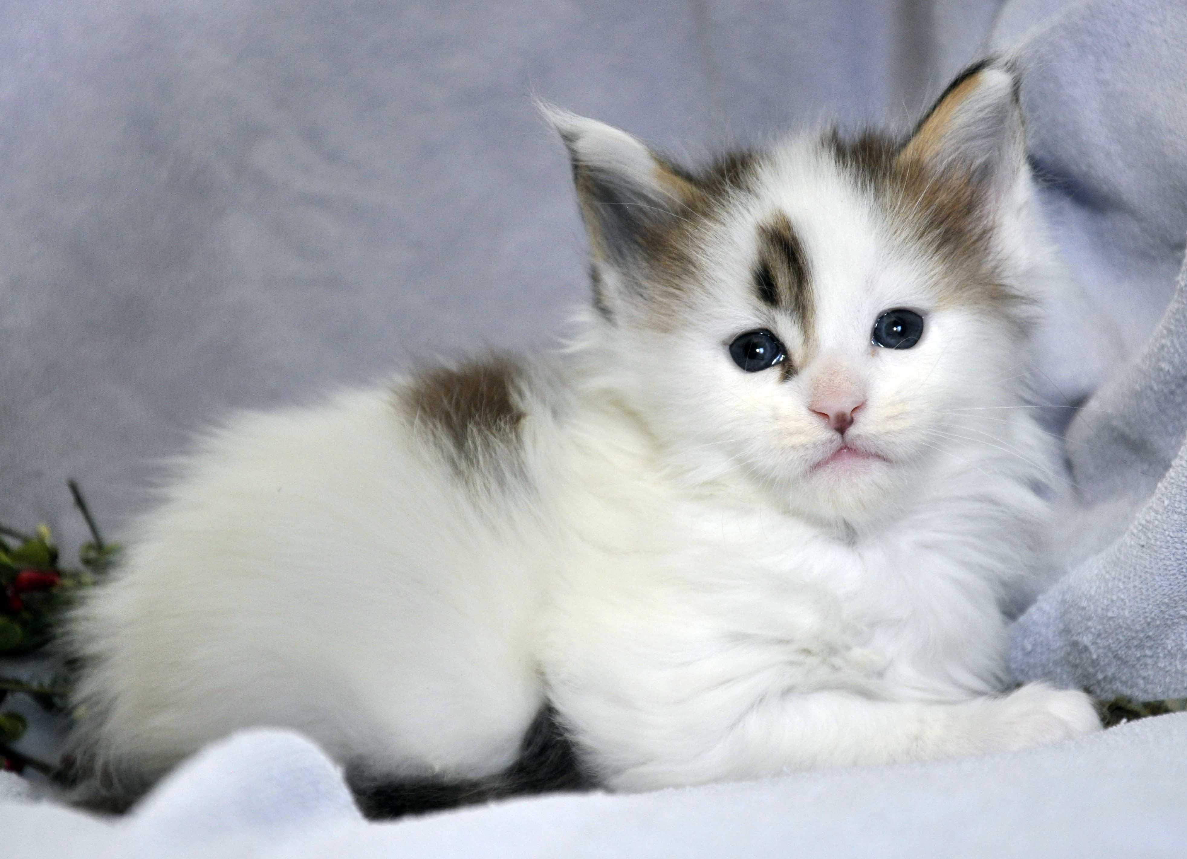Кот Мейн Кун 1 (male) Eyktan TYSON 110418 фото 6