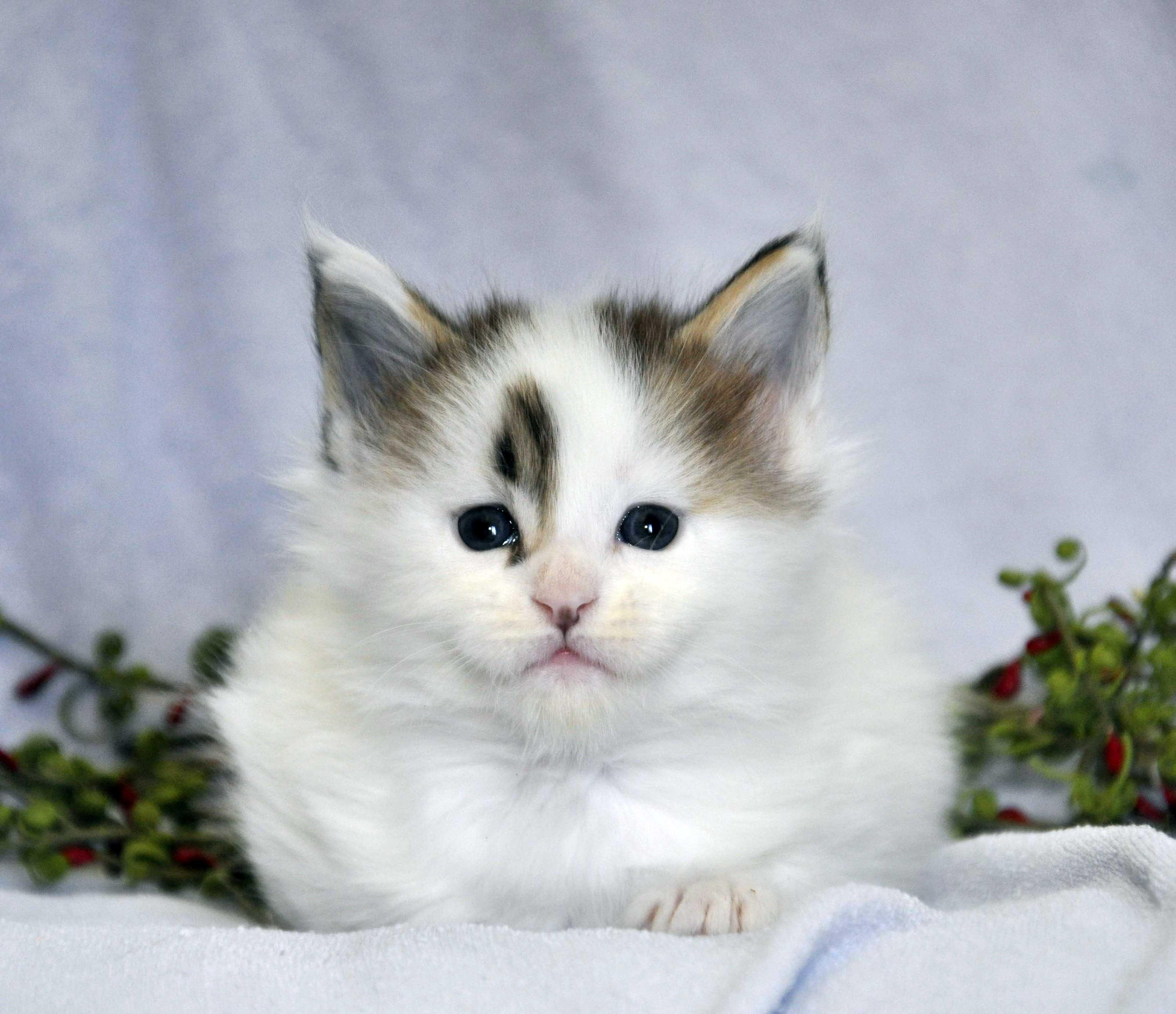 Кот Мейн Кун 1 (male) Eyktan TYSON 110418 фото 8