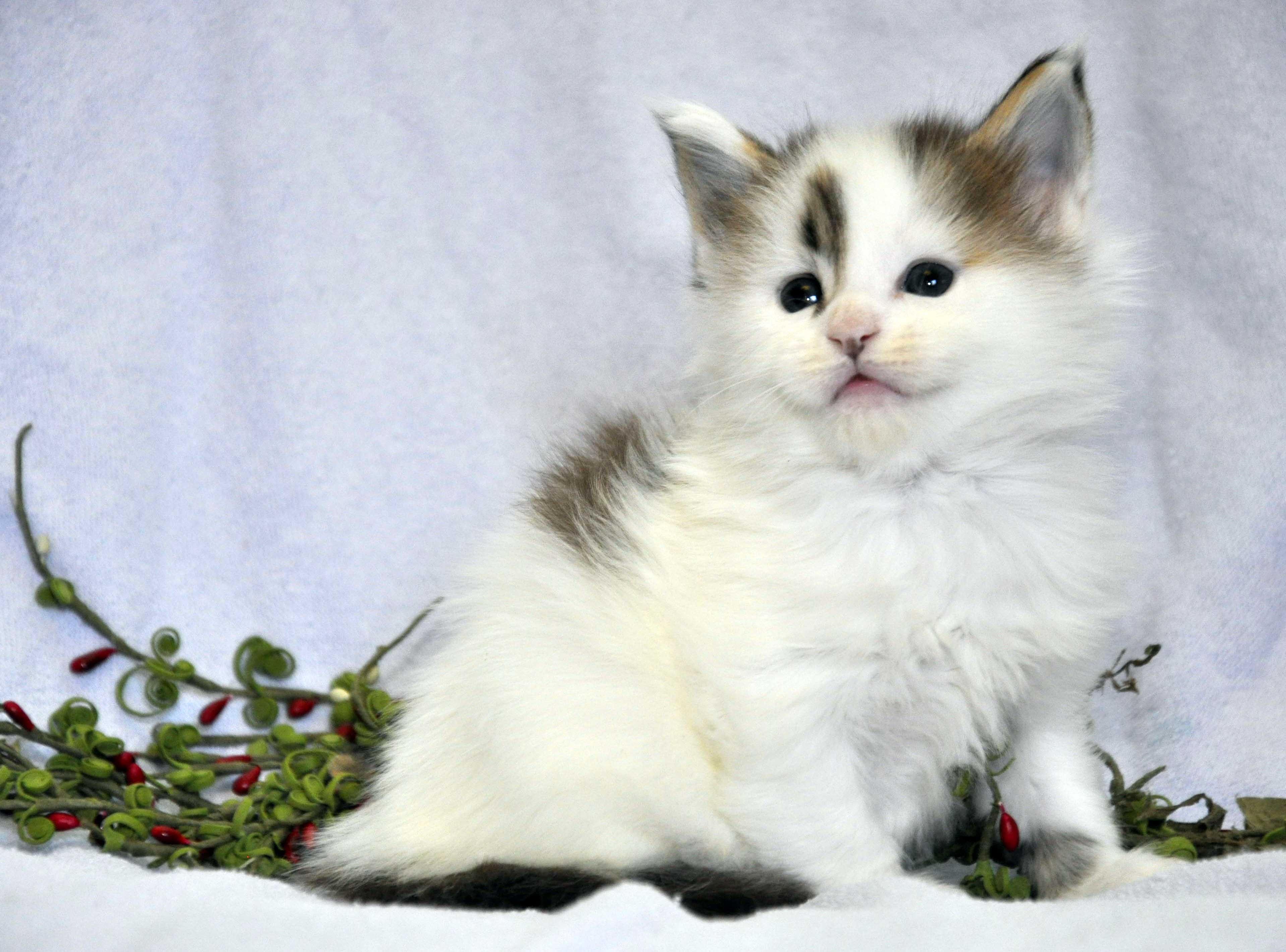 Кот Мейн Кун 1 (male) Eyktan TYSON 110418 фото 9