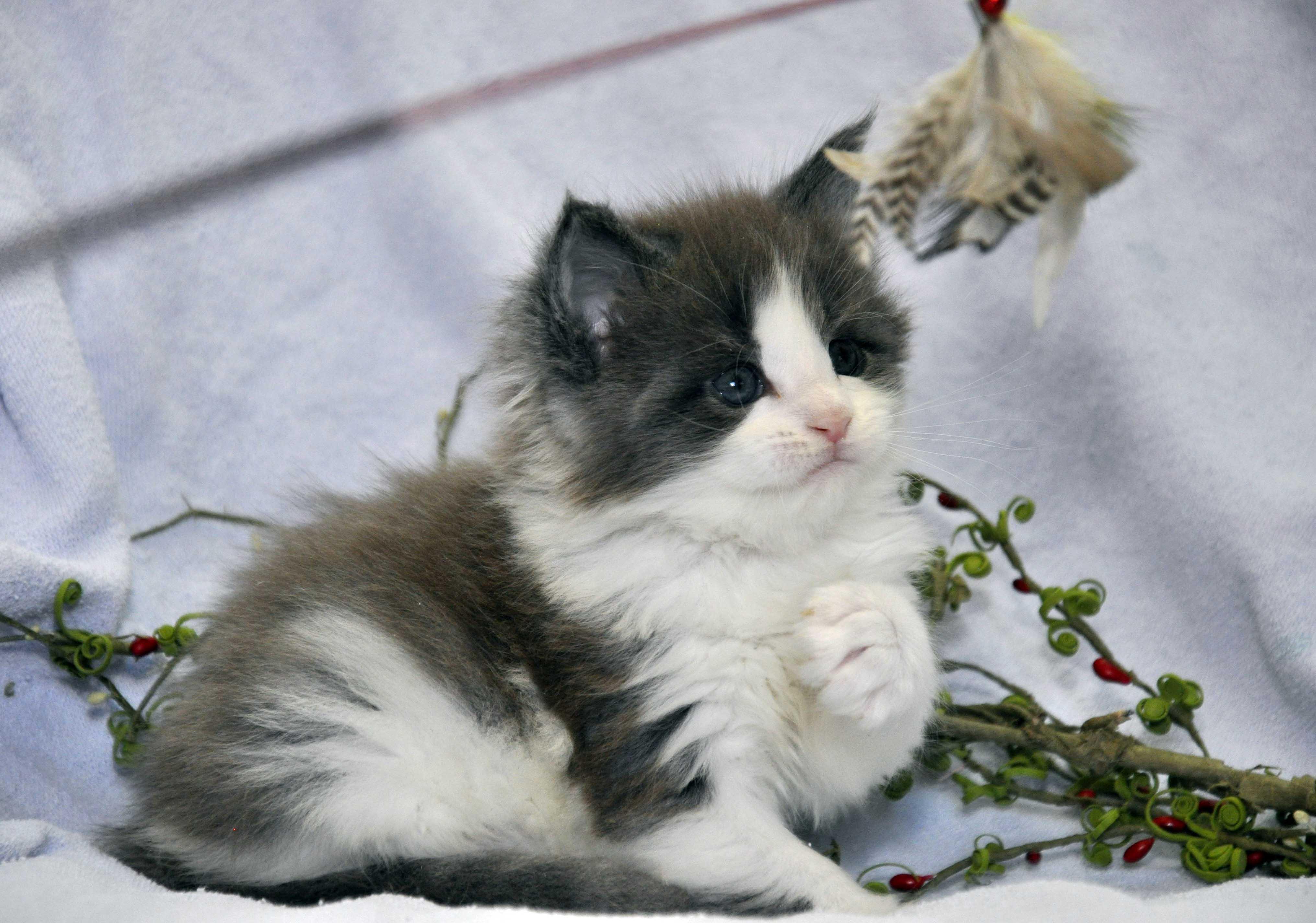 Кот Мейн Кун 2 (male) Eyktan TOUAREG 110418 фото 2