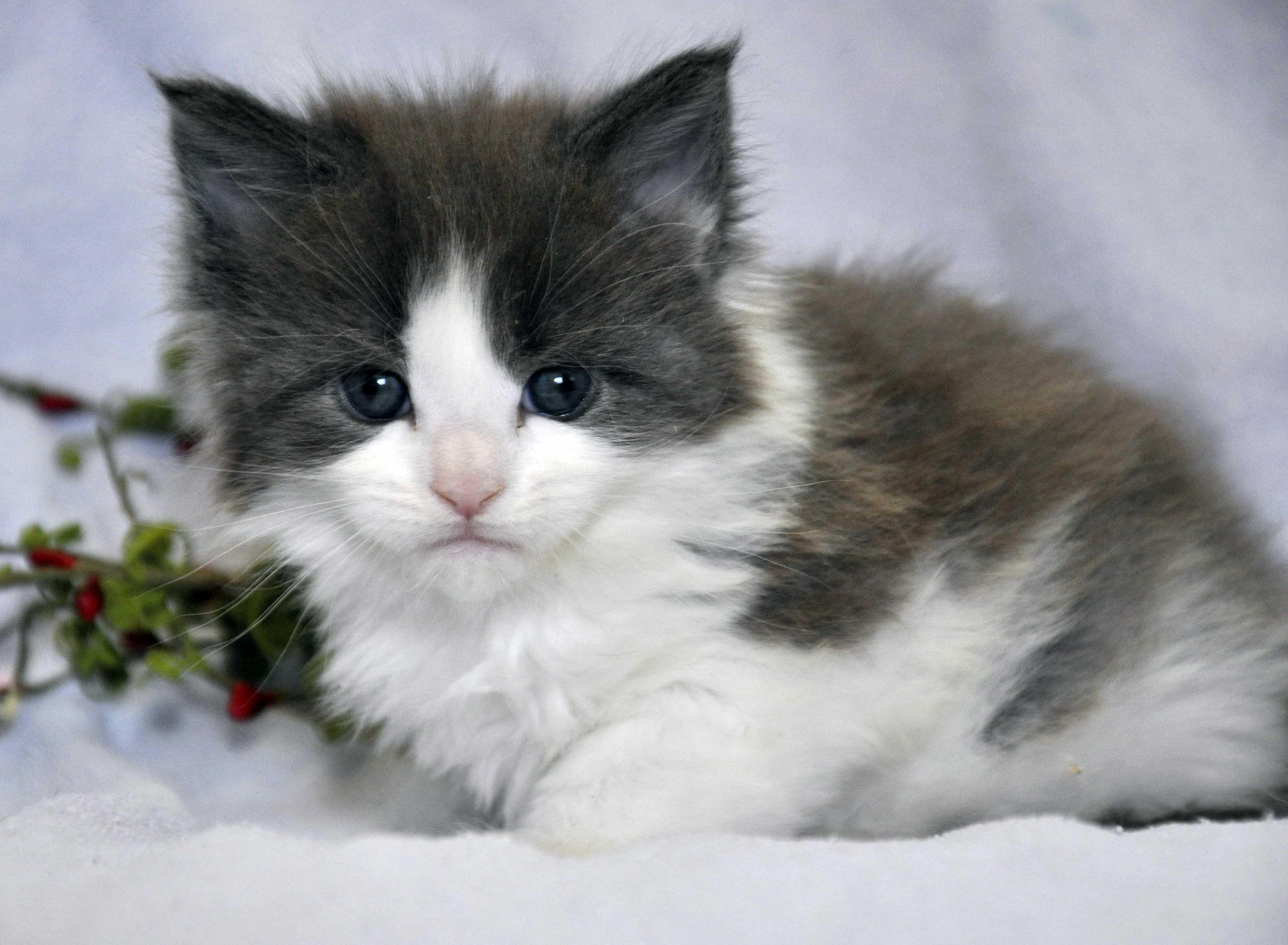 Кот Мейн Кун 2 (male) Eyktan TOUAREG 110418 фото 4