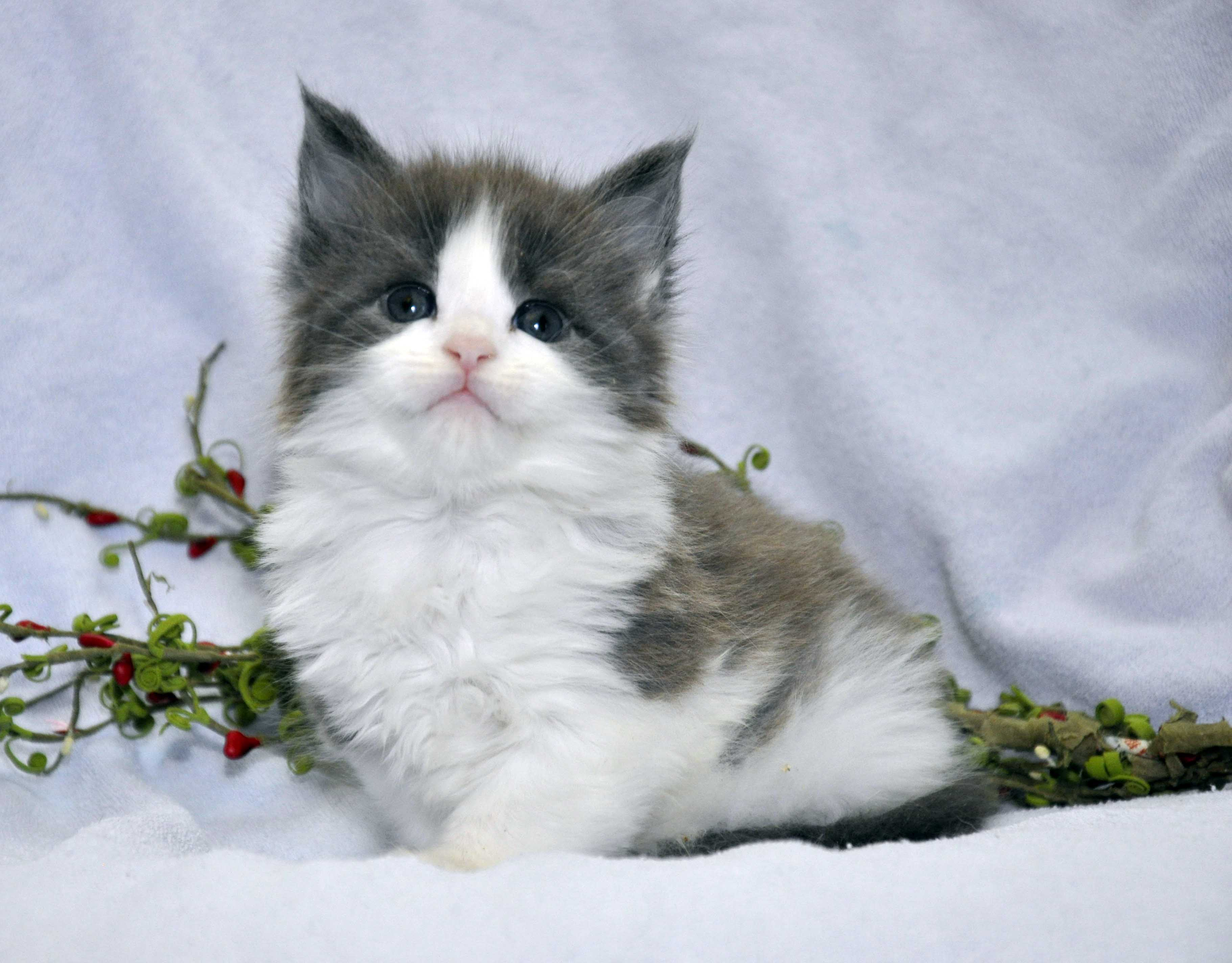 Кот Мейн Кун 2 (male) Eyktan TOUAREG 110418 фото 7