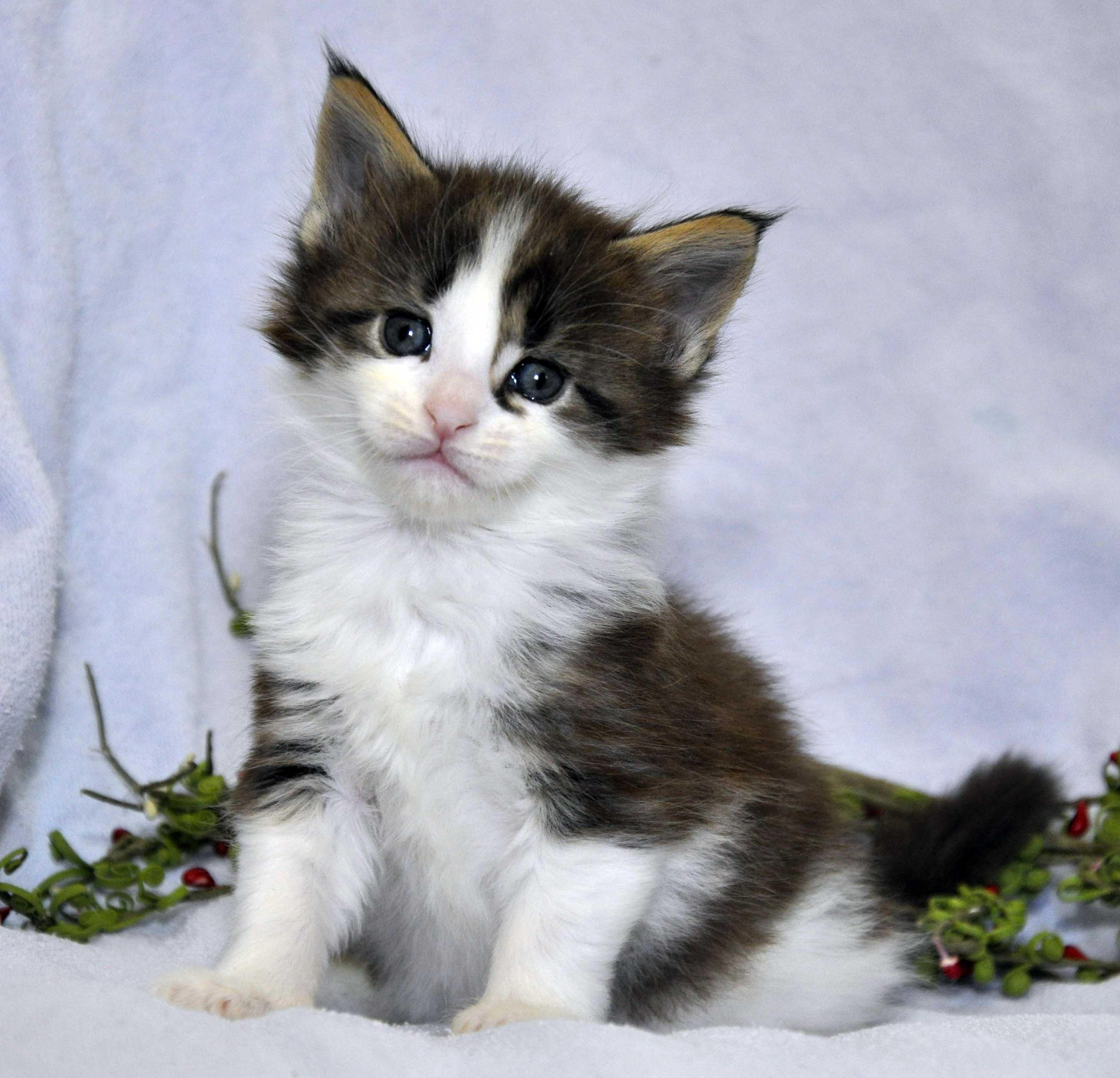 Кот Мейн Кун 3 (male) Eyktan TEXAS 110418 foto 1
