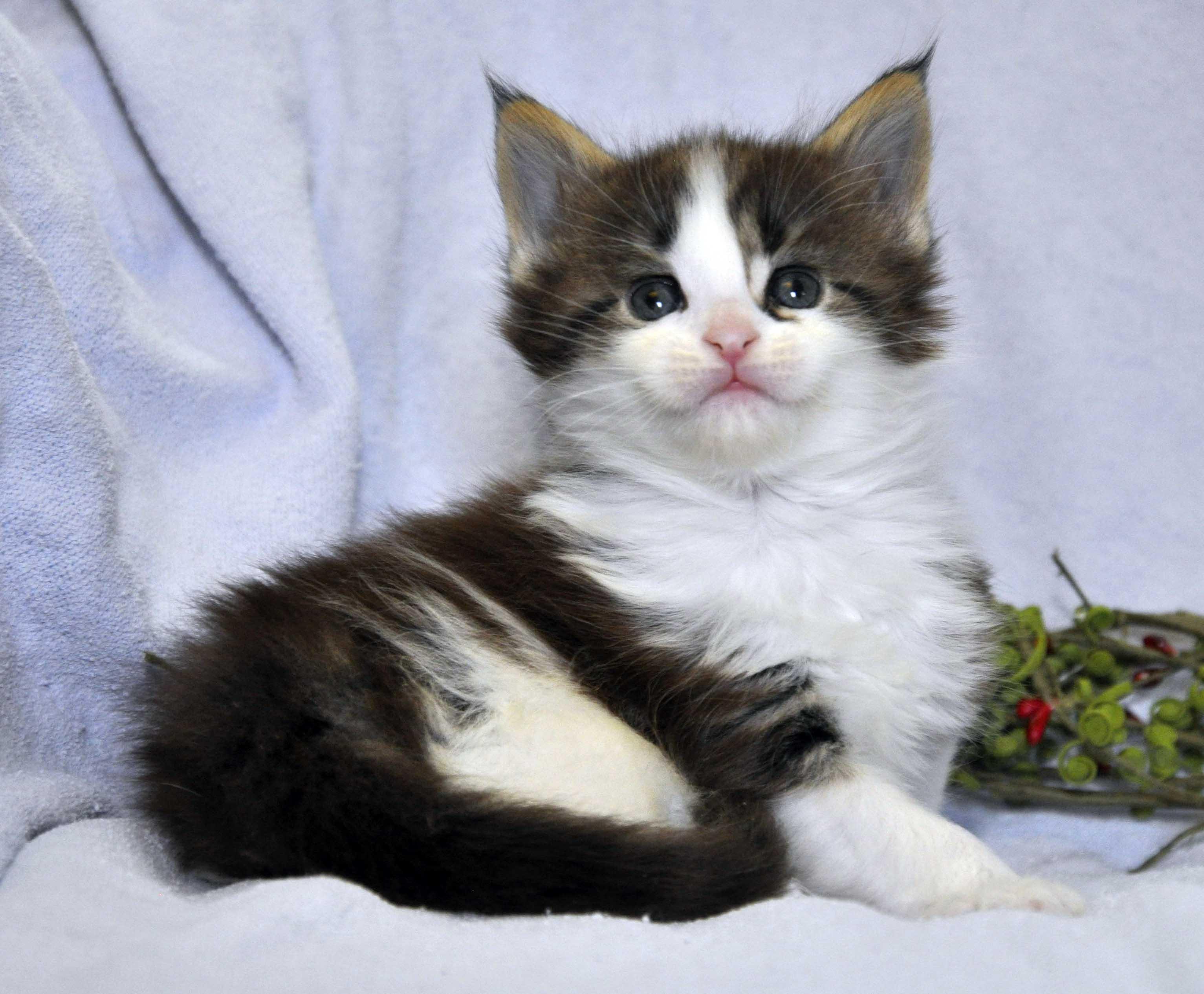 Кот Мейн Кун 3 (male) Eyktan TEXAS 110418 foto 2