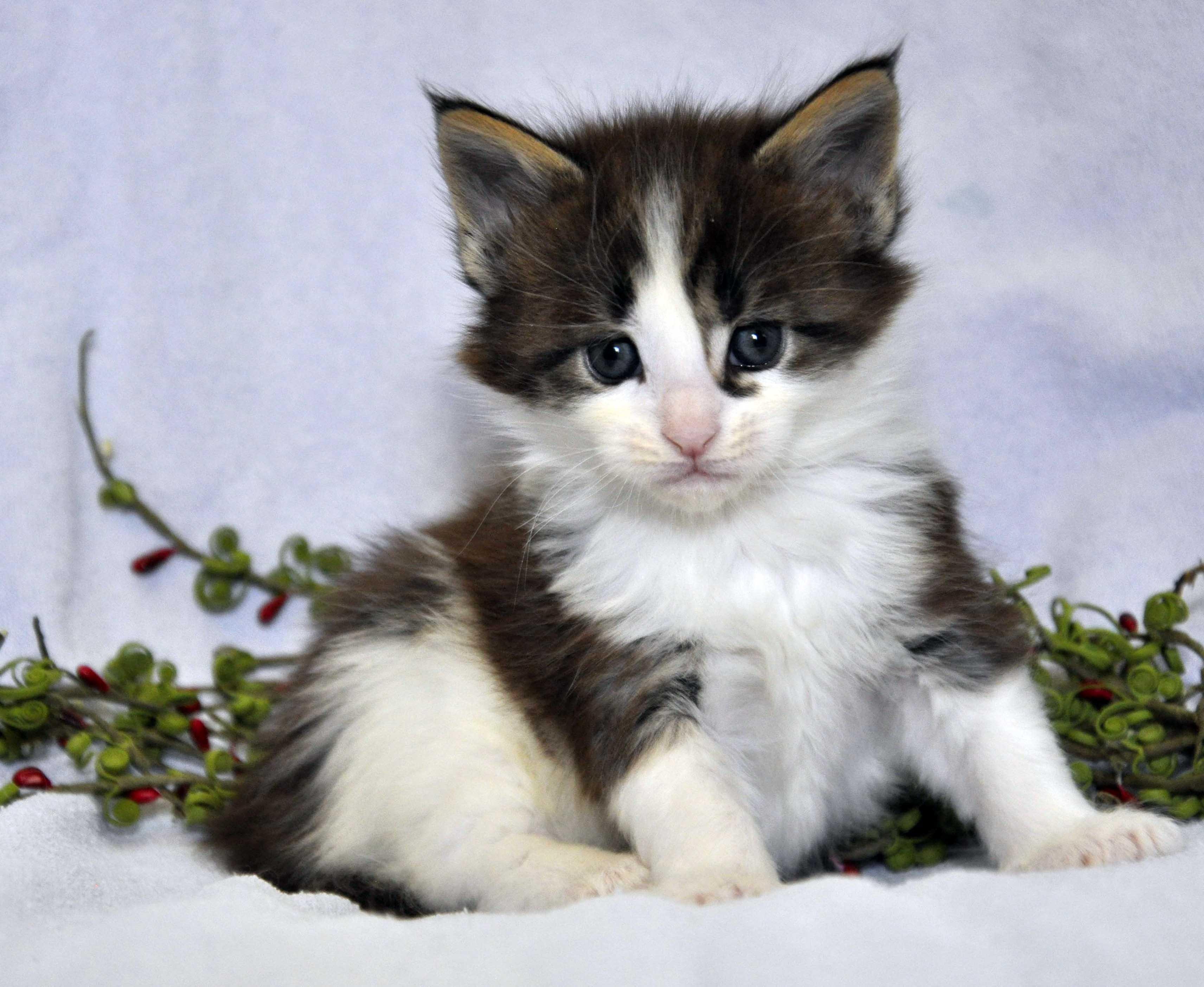 Кот Мейн Кун 3 (male) Eyktan TEXAS 110418 foto 3