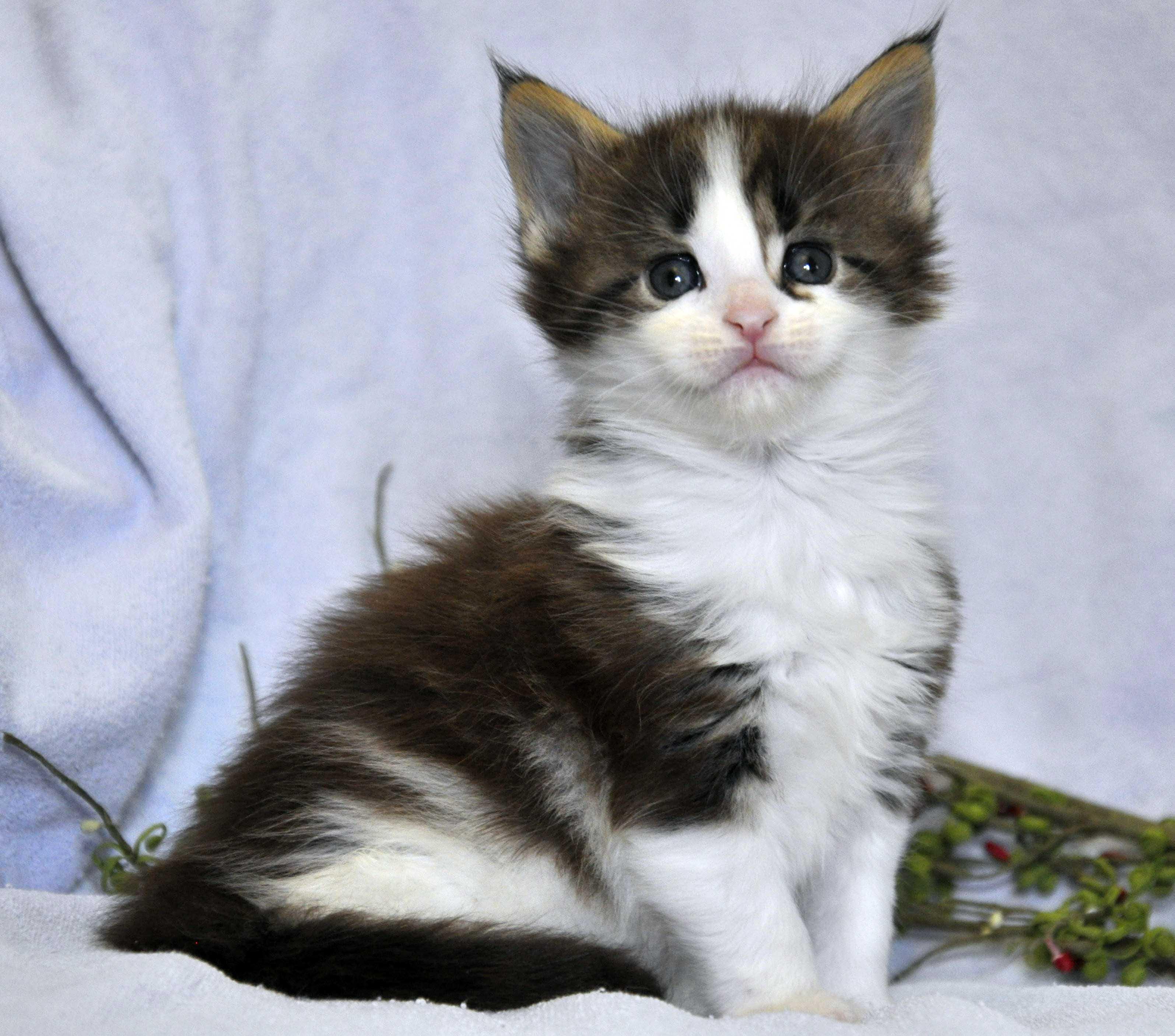 Кот Мейн Кун 3 (male) Eyktan TEXAS 110418 foto 4